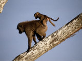 A Female Olive Baboon Carries Her Baby on Her Back Photographic Print by Tim Laman