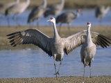 Sandhill Cranes Roost Along the Platte River Near Kearney, Nebraska Fotografisk tryk af Joel Sartore
