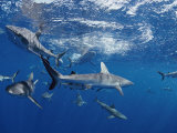 A School of Gray Reef Sharks Swim in Different Directions Photographic Print by Bill Curtsinger