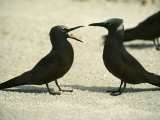 Black Noddy Terns Photographic Print
