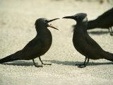Black Noddy Terns Photographic Print