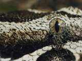Close View of the Marble-Like Eye and Patterned Scales of a Rhinoceros Viper Snake Photographic Print by Jason Edwards