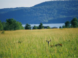 A Wild Deer Peers Through High Meadow Grass Photographic Print