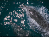 A Bottlenose Dolphin Swims Through the Sea off the Coast of Australia Photographic Print by Nicole Duplaix