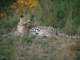 A Leopard Relaxes While Keeping a Lookout for Prey Photographic Print by Nicole Duplaix
