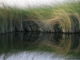 Aquatic Grasses Blow in the Wind Fotoprint van Nicole Duplaix