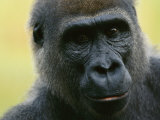 Close View of a Western Lowland Gorilla Photographic Print