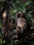 A Long-Tailed Macaque Removing Parasites from Another Monkey Photographic Print by Mattias Klum