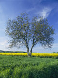 A Single Tree in a Yellow Rape Field Photographic Print by Todd Gipstein