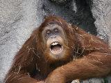 Vocalizing Orangutan Photographic Print by Vlad Kharitonov