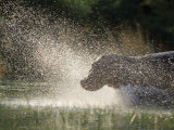 A Hippo Splashes into the Water Photographic Print by Nicole Duplaix