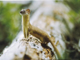 Ermine on a Log Photographic Print by Michael S. Quinton