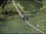 Monkey on a Rope Photographic Print by Vlad Kharitonov