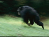 A Wild Male Chimpanzee Showing Dominance Behavior Photographic Print