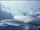 Blue Sharks Swim Near the Waters Surface Photographic Print