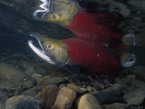 A Sockeye Salmon, Also Called Red Salmon, Swimming in Shallow Water Fotoprint