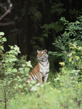 An Alert Siberian Tiger Sits on the Edge of a Dense Forest Photographic Print