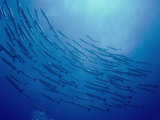 A School of Barracuda Swimming in a Circle Photographic Print by Bill Curtsinger