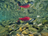 Sockeye Salmon, Also Called Red Salmon, and its Reflection Fotografisk tryk
