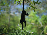 A Monkey Hangs from a Tree by His Tail Photographic Print by Todd Gipstein