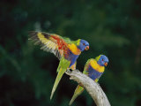 Brightly Colored Lorikeets Perch on a Branch Photographic Print by Nicole Duplaix
