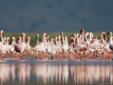 A Crowd of Lesser Flamingos Gathered on the River Photographic Print by Beverly Joubert