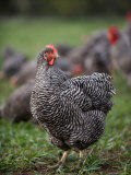 A Barred Plymouth Rock Chicken Free Ranging at a Farm in Kansas Photographie par Joel Sartore