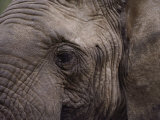 Close-up of an African Elephant Photographic Print by George F. Mobley