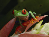 Red-Eyed Tree Frog in Costa Rica Photographic Print