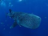 A Whale Shark Fotografie-Druck von Brian J. Skerry