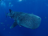A Whale Shark Photographic Print by Brian J. Skerry