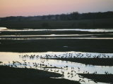 Sandhill Cranes Roost Along the Platte River in Nebraska Photographic Print by Joel Sartore