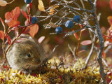A Red-Backed Vole Photographic Print by Michael S. Quinton