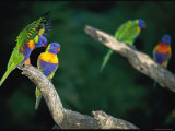 Brightly Colored Lorikeets Perch on Tree Branches Photographic Print by Nicole Duplaix