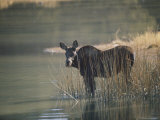 A Cow Moose Stands in a Patch of Reeds at the Edge of a Lake Photographic Print by Dr. Maurice G. Hornocker