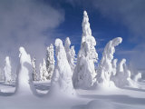 A Heavy Blanket of Snow and Fog Cover a Group of Pine Trees Fotografisk tryk af Norbert Rosing