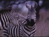 Burchells Zebras in Masai Mara Photographic Print