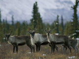 A Group of Barren Ground Caribou Photographic Print