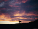 An Elk Stands under a Flaming Sunset Photographic Print