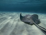 A Southern Stingray Swims Near the Ocean Bed Fotografie-Druck von Bill Curtsinger