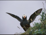 A Tufted Puffin Spreads its Wings Photographic Print by George F. Mobley