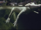 A Rare White Alligator in the Louisiana Swamp Exhibit Photographic Print by Michael Nichols
