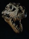 Skull of a Tyrannosaurus Rex Fotografisk tryk af Ira Block