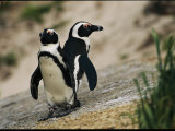 Jackass Penguins Standing Together on a Rock Photographic Print