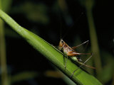 A Grasshopper Rests on a Grass Stem Photographic Print