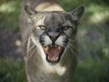 A Mountain Lion Hisses at the Camera Fotografie-Druck von Jason Edwards