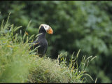 A Tufted Puffin Photographic Print by George F. Mobley