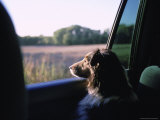 A Sheltie Looks Out the Window at a Field in Walton, Nebraska Photographic Print by Joel Sartore