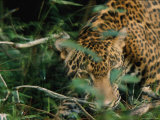 A Jaguar Moves in the Brush Photographic Print by Steve Winter