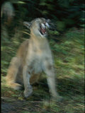 Florida Panther Photographic Print by Michael Nichols